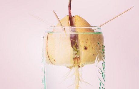 Avocado pitten planten zo doe je dat